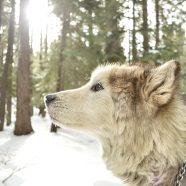 Midas – de wolf die geen grenzen kende